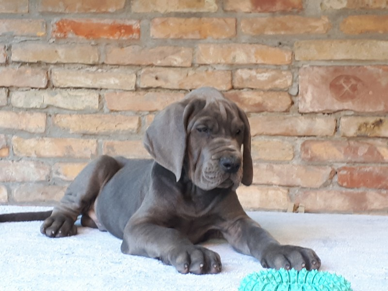 Lean on me Blue European Great Dane Kennel Hungary - Blue